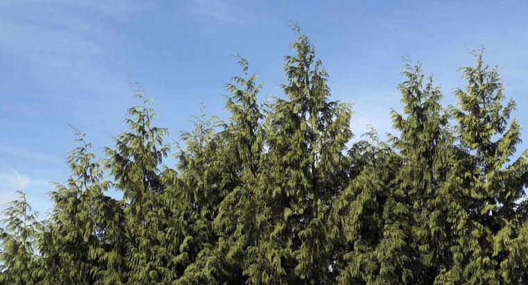 prune-trim-leyland-cypress