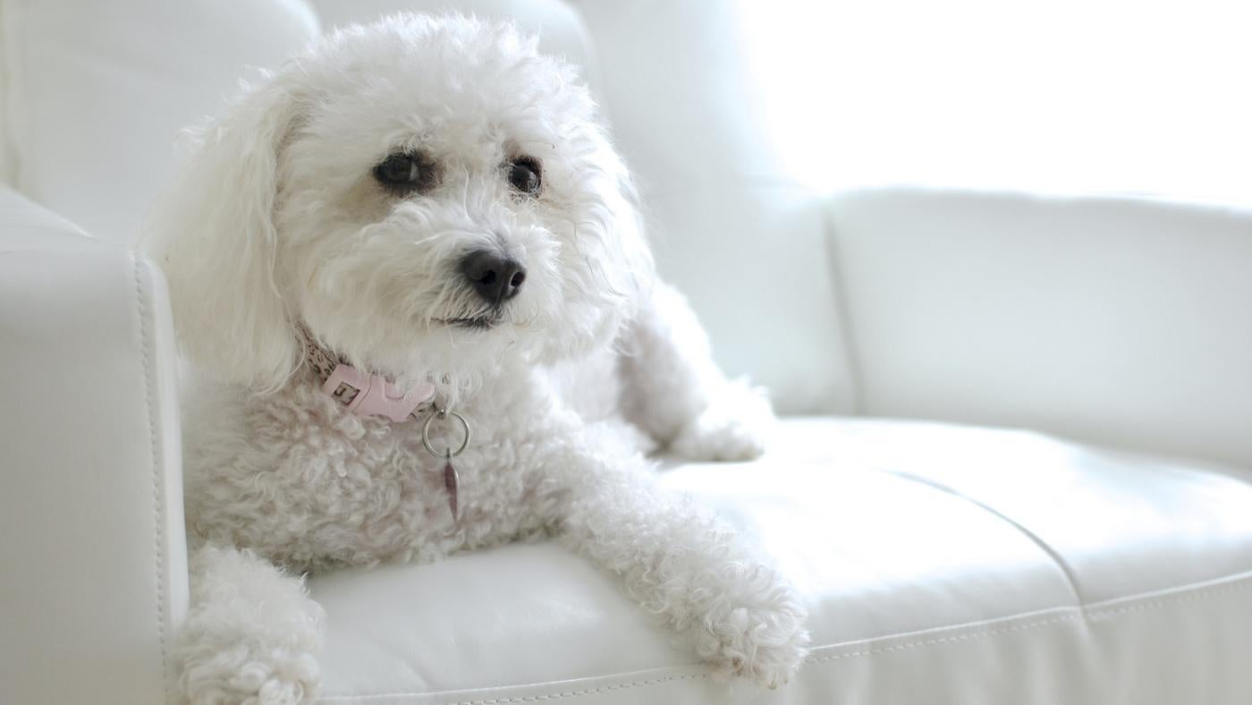 What Is A Puppy Cut For A Bichon Frise