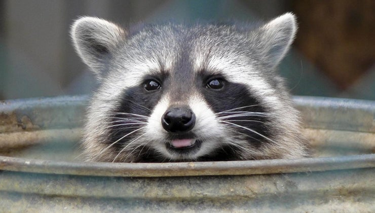 raccoon-s-natural-enemies