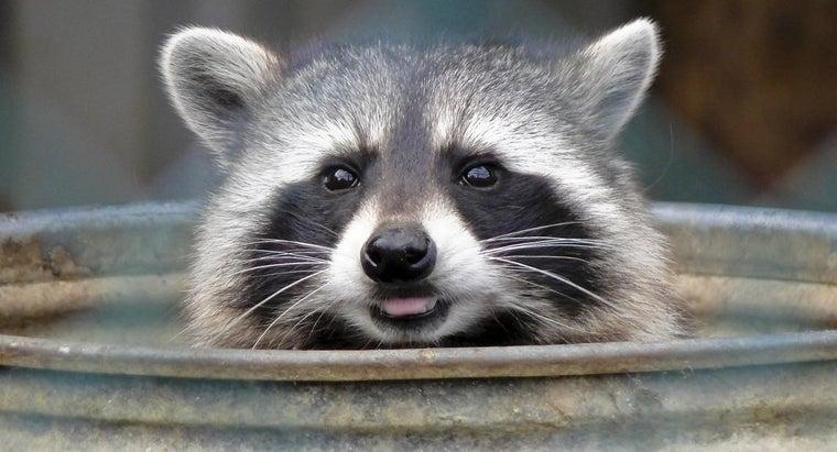 raccoon-s-natural-enemies