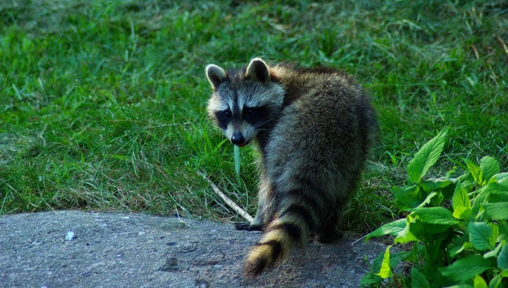 raccoons-live