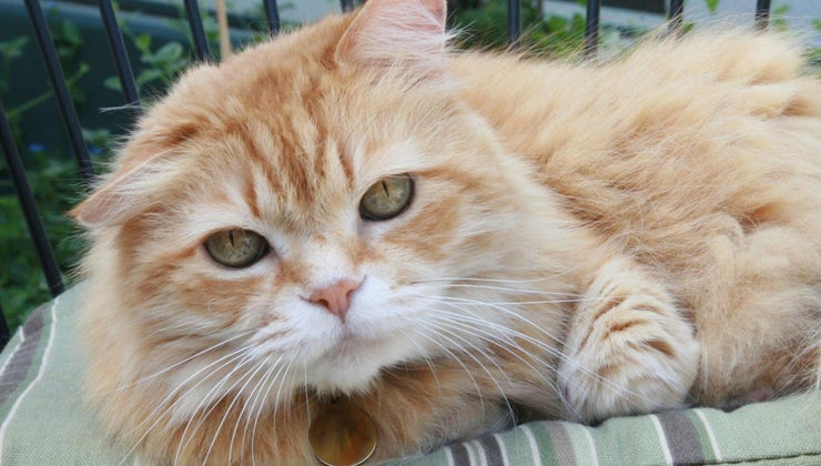 rare-female-orange-tabby-cats