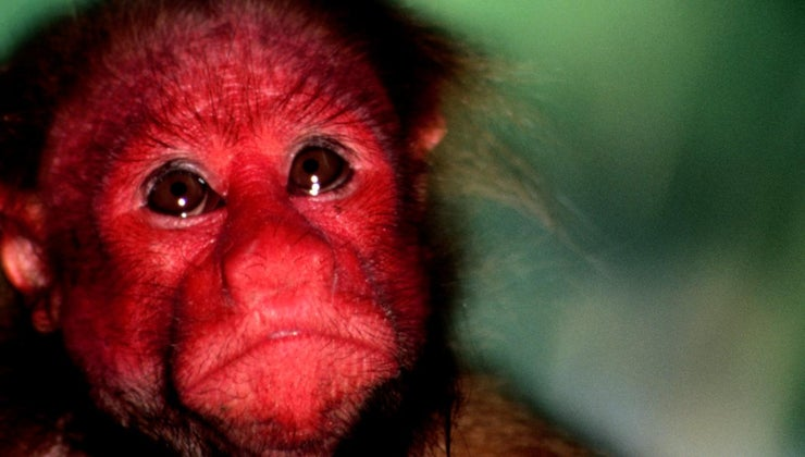 red-faced-monkey-called