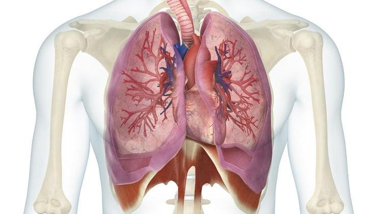 relationship-between-heart-lungs