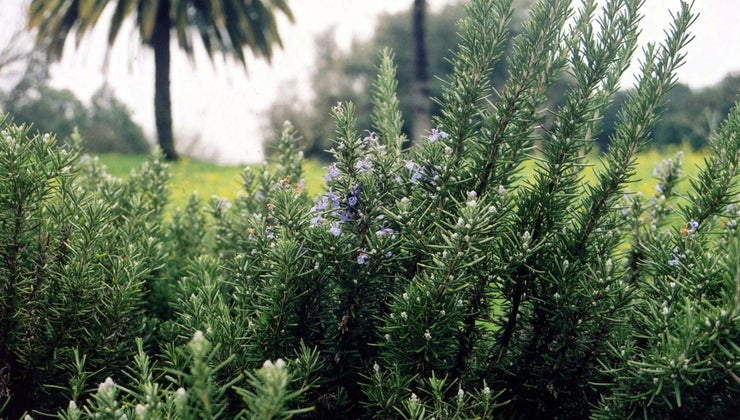 rosemary-s-leaves-turning-yellow