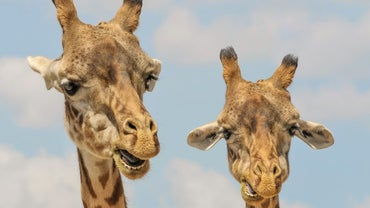 Can Giraffes Talk? (And Other Weird Animal Myths You've Believed All Your Life)