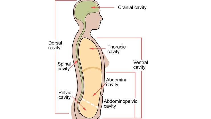 Scheme Body Cavities En