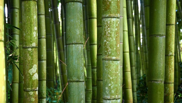 scientific-name-bamboo
