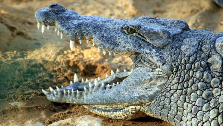scientific-name-crocodile