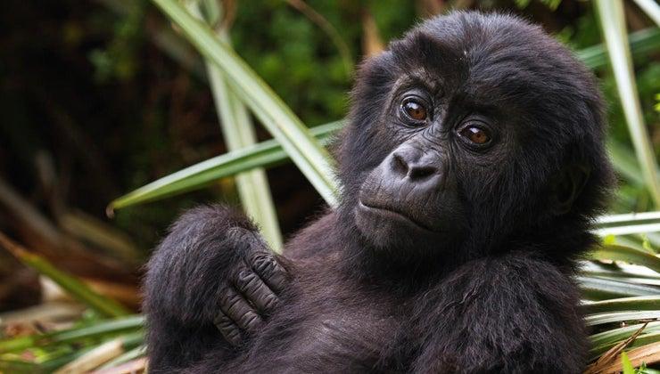 scientific-name-gorilla
