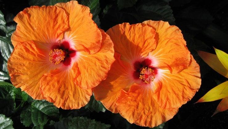 scientific-name-hibiscus