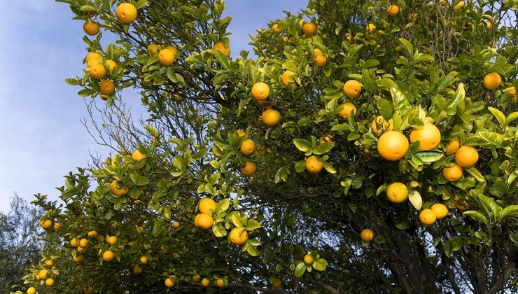 scientific-name-orange