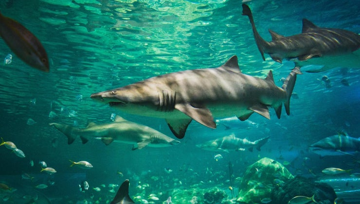 sharks-eat-dolphins