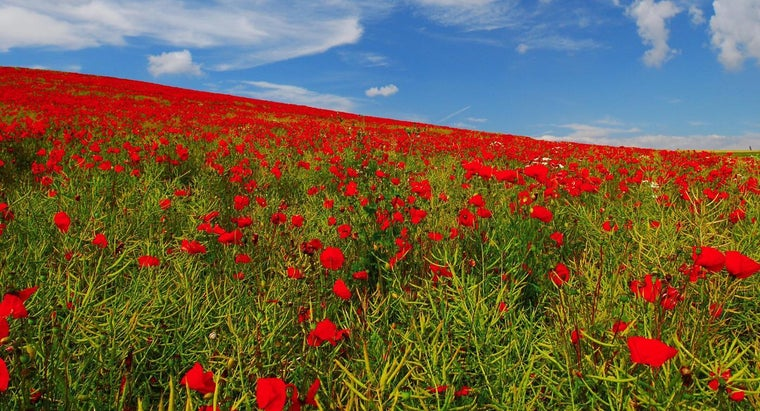 should-poppies-deadheaded