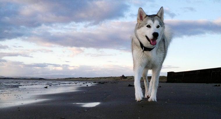 siberian-huskies