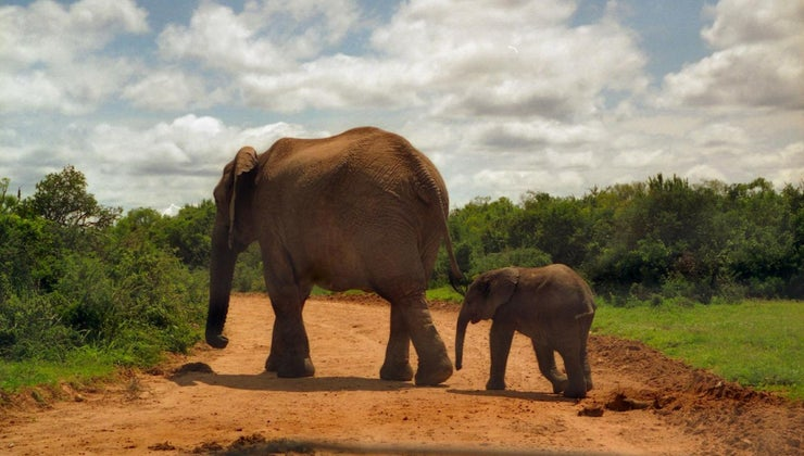 significance-elephant-delta-sigma-theta