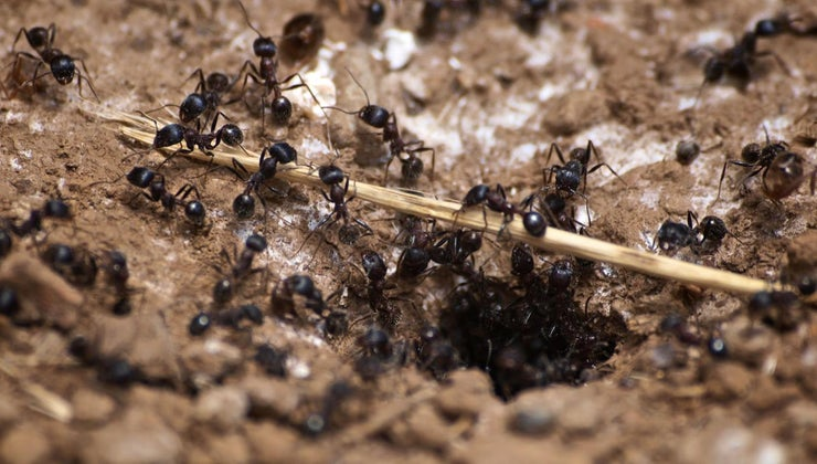 signs-carpenter-ant-infestation