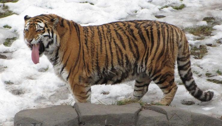 similarities-differences-between-siberian-tiger-bengal-tiger