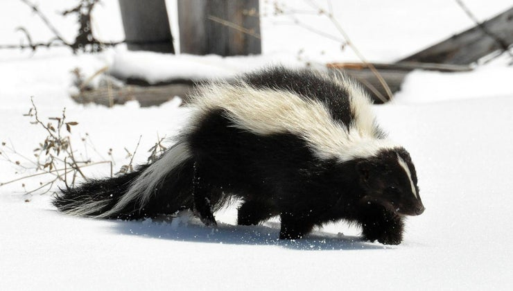 skunk-called-polecat
