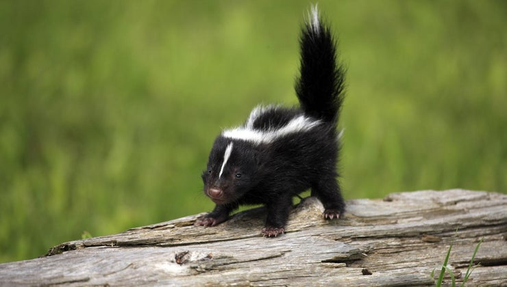 skunks-live