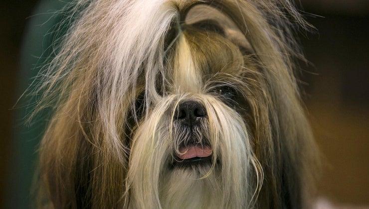 small-dog-breeds-non-shedding