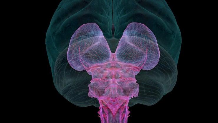 smallest-organ-human-body