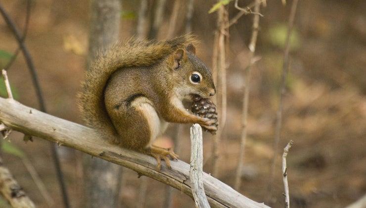 squirrels-eat-pine-cones