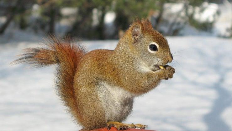 squirrels-sleep-winter