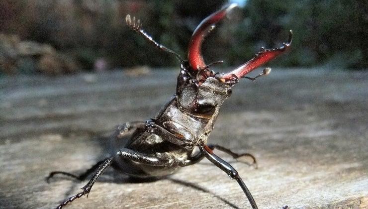 stag-beetles-eat