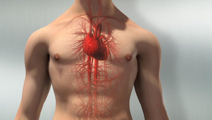 structure-circulatory-system