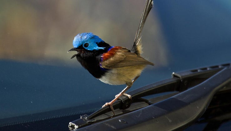 superstition-bird-hitting-windshield