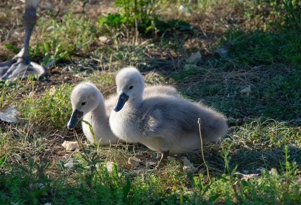 Swan 4138260 1280