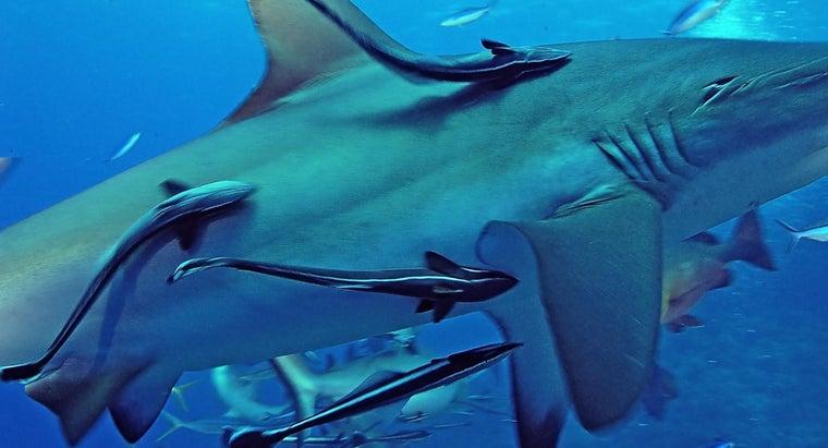 symbiosis-between-remoras-sharks