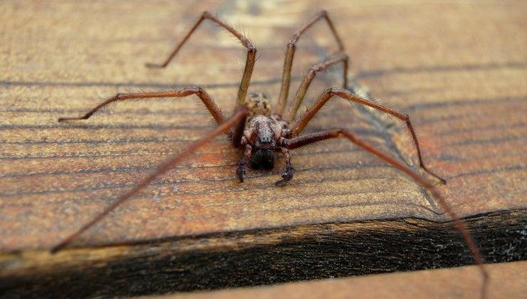 symptoms-hobo-spider-bite