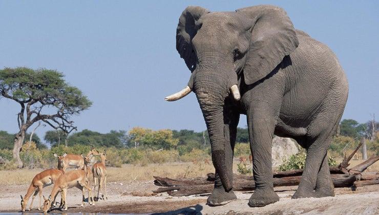 tall-elephants