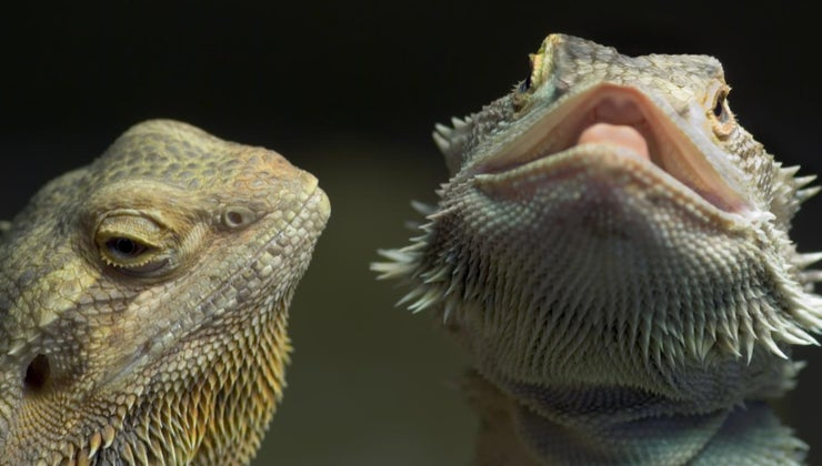 tell-bearded-dragon-sick