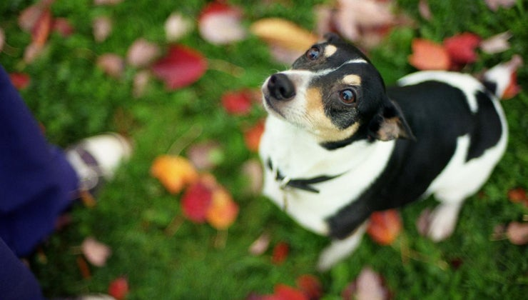 tell-difference-between-toy-rat-terrier-chihuahua