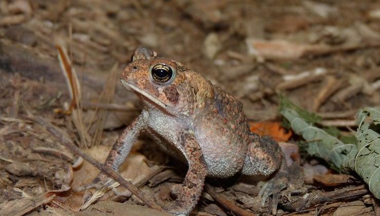tell-male-eastern-american-toad-female