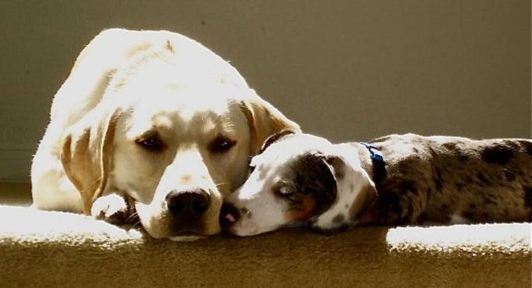 temperament-dachshund-lab-mix