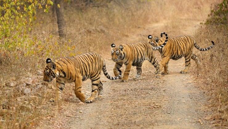 tigers-live-tropical-rainforests