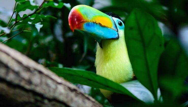 toucan-live