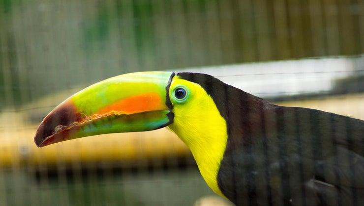 toucans-eat