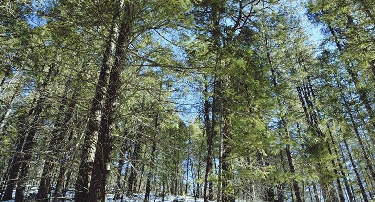 treat-pine-tree-fungus
