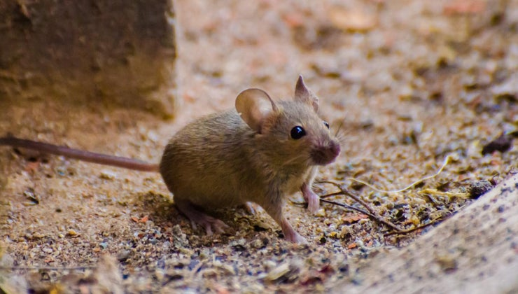 treatment-mouse-bite