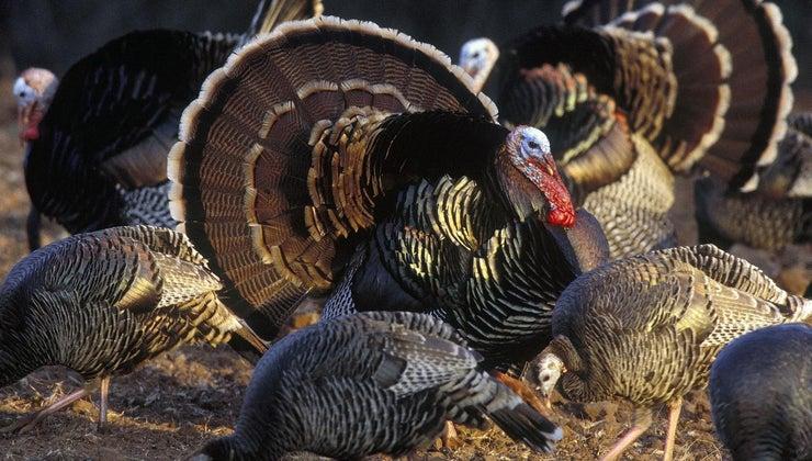turkeys-mate