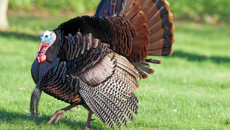 turkeys-testicles