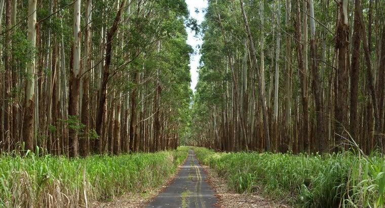 uses-eucalyptus-wood