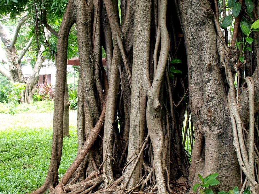 What Are The Uses Of The Rubber Tree