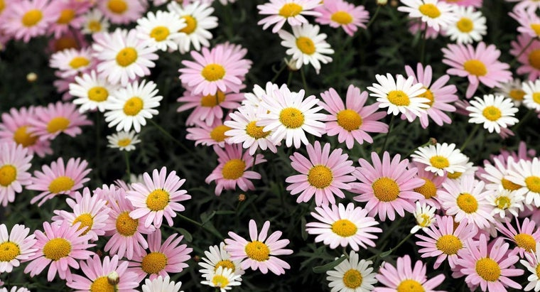 water-daisies