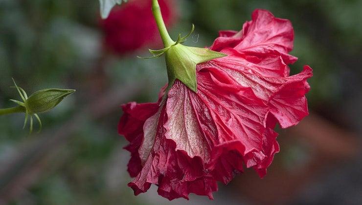 water-hibiscus-plant